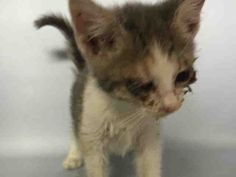08/08/2016 STILL THERE SUFFERING!!! 07/27/2016 SUPER URGENT HELP RESCUE ILL RUBBY - #A1079305 Brooklyn NYC **MUST BE PULLED BY NEW HOPE RESCUE BECAUSE OF YOUNG AGE** - FEMALE WHITE/TORTIE SH MIX, 6 Wks - STRAY - NO HOLD Intake Condition ILLNESS Intake 06/29/16 Due Out 07/02/16. She needs an examination and treatment for her eye infection urgently. Please share to help this sad young kitty.