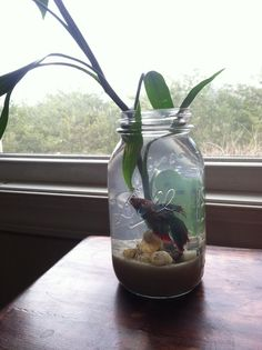 Cool Betta Terrarium Idea Take A Mason Jar And Add River Stones An Ornamental