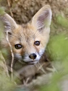 young fox, fox kit, lil fox, sweet fox, red fox