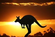Find Kangaroo On Sunset stock images in HD and millions of other royalty-free stock photos, illustrations and vectors in the Shutterstock collection. Thousands of new, high-quality pictures added every day. Ayers Rock, Alice Springs, Great Barrier Reef, Planet Earth, Continents, Kangaroo, Animal Pictures, Travel Inspiration, Tourism