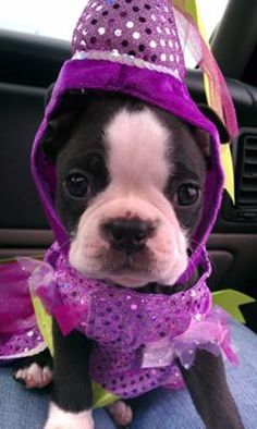October Means Boston Terriers in cute Halloween costumes. What a pretty princess! I Love Dogs, Puppy Love, Cute Dogs, Pet Halloween Costumes, Cute Halloween, Boston Terrier Halloween, Boston Terrier Costume, Boston Terrier Love, Boston Terriers