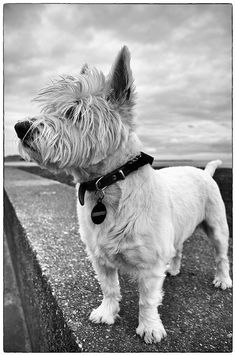 Westie's are a great looking breed. They aren't supposed to look perfect like a dog food ad, they are messy and funny and have bad hair most of the time.