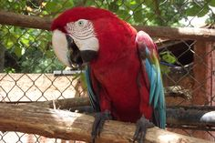 Zoobotânico de Teresina - Arára Vermelha