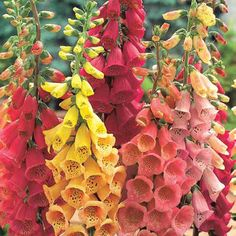 Mixed Foxglove - Other Shade Perennials - Shade Perennials