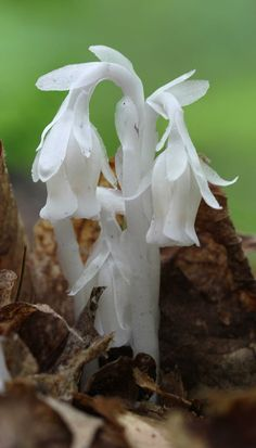 I love the pure white Indian Pipes that grow in the forest.  There isn't any green at all on this flower.