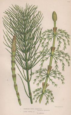 1855 Horsetails, Antique Botanical Print, Vintage Lithograph, Anne Pratt Fern…