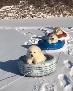 Fluffy Puppies Is Enjoying The Snow Ride Funny Animal Videos, Cute Funny Animals, Animal Memes, Cute Baby Animals, Funny Dogs, Animals And Pets, Funny Videos, Fluffy Puppies, Cute Puppies