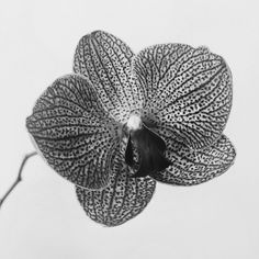 Black and White Orchid Photograph, Orchid No.2578, Flower Photography, Botanical Wall Art,Moth Orchid, Nature Print by NeeksyPhotography on Etsy