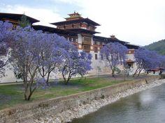 Jacaranda trees, Punakha Dzong, Bhutan