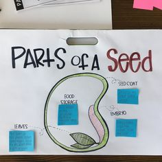 Parts of a Seed anchor chart - Modern Telling Time Activities, Science Activities For Kids, Kindergarten Science, Science Lessons, Classroom Activities, Science Experiments, Science Fun, Science Ideas, Preschool Classroom