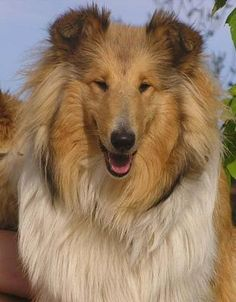 Collie We use to have a collie like this when I was a kid. He was a big lover, miss him. Pet Dogs, Dogs And Puppies, Dog Cat, Pets, Doggies, Rough Collie, Collie Dog, Large Dog Breeds, Four Legged