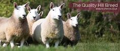 Image result for sheep north country cheviot