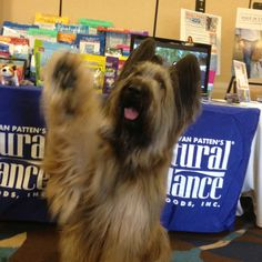 Here's @NormanScooter dog waving farewell to everyone at #BlogPaws see it on my #Pinterest board