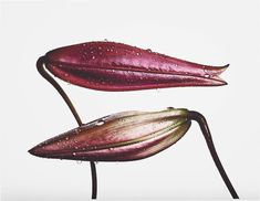 Irving Penn  Imperial Pink Bud and Imperial Gold Bud 1971