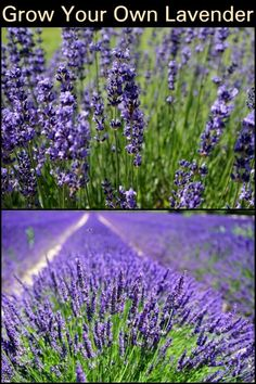 Grow Your Own Lavender  Invite more bees to your garden through this fragrant flower.