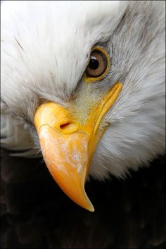 Did You Know? The hook at the tip of the bald eagle's beak is used for tearing.