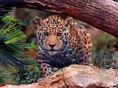 El estado de Chiapas es uno de los más biodiversos del país. Junto a la frontera con Guatemala se localiza la Selva Lacandona, que en su casi millón de la de superficie alberga el 20% de las especies mexicanas.