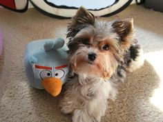 Biewer Yorkie Terrier #Puppy #Dog