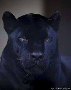 Black panther...dont thk i would need a dog for protection...here kitty kitty kitty...