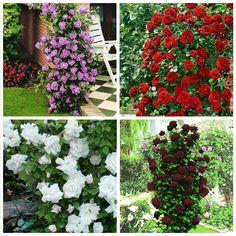"""Комплект """"Плетистые розы"""" Черная королева, Дон жуан, Вирго, Индиголетта"""