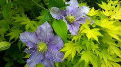 Clematis Jolanta growing with a Japanese maple. Photo: Dagmara Walkowicz