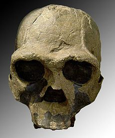 Homo ergaster (African Homo erectus): an extinct chronospecies of Homo that lived in eastern and southern Africa during early Pleistocene, between 1.8 and 1.3 million years ago; widely accepted to be the direct ancestor of later hominids