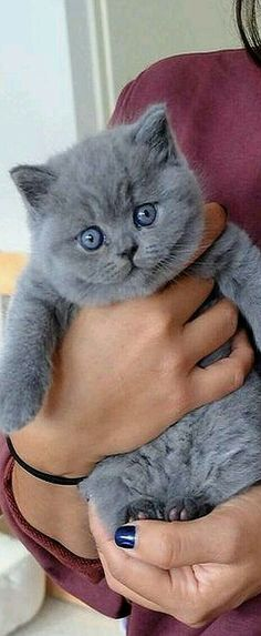I LOVE blue cats