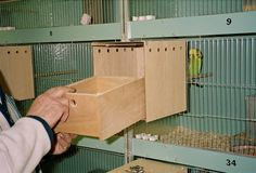 How to make a start on breeding budgies. Here's Fred's advice to bird-keepers looking to make a start with budgie. Budgie Nest Box, Parakeet Cage, Diy Bird Cage, Bird Cages, Breeding Budgies, Parakeets, African Lovebirds, Bird Breeds, Bird Aviary