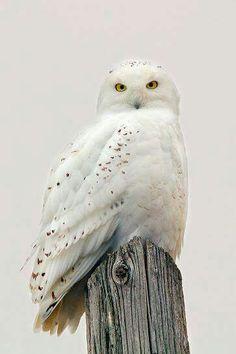 Snowy Owl, Shelby, NY. Photo by Timothy McIntyre