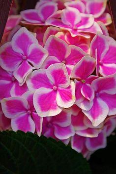 Bigleaf Hydrangea~~Beauty of Flowers & Gardens Exotic Flowers, Amazing Flowers, My Flower, Pretty In Pink, Pink Flowers, Beautiful Flowers, Beautiful Gorgeous, Hortensia Hydrangea, Nature