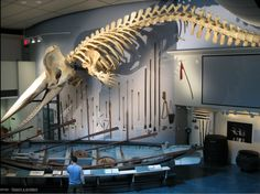 Don't love whaling but love this skeleton! ..Nantucket Whaling Museum, Nantucket, MA