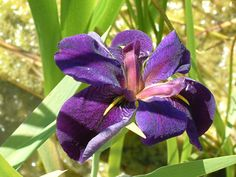 Black Gamecock Iris - Flowers that attract butterflies  Photo courtesy of Enery Water Gardens, Arvada, CO