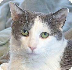 Chicago, IL - Snowshoe. Meet Pirate, a cat for adoption. http://www.adoptapet.com/pet/12511087-chicago-illinois-cat