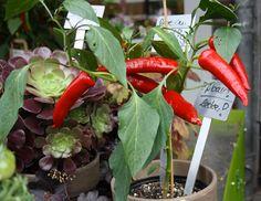 Peperoni - Chili  essbare Früchte aus dem Topf