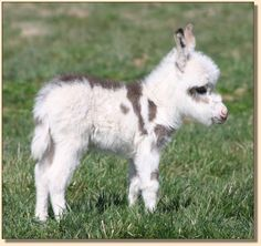 cute newborn baby donkey 2012 (via MiniDonks.com)