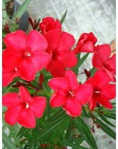 32 tuzipiros k. Nerium, Flowers, Plants, Garden, Plant, Royal Icing Flowers, Flower, Florals, Floral