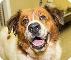 Seville, OH - St. Bernard/Collie Mix. Meet Cisco, a dog for adoption. Medina County SPCA