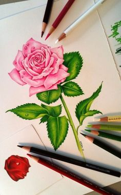 Pink Rose Drawing.