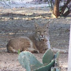 Bobcat Oro Valley Arizona-my sister sees these guys in her backyard!!  She has 6 little dogs running around!  Go figure