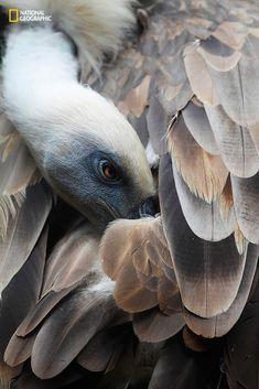 Vautour se lissant les plumes