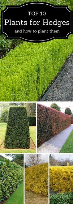 Top 10 plants for hedges and how to plant them.