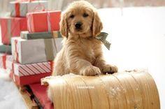 Christmas puppy cute