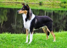 All things Collie: A coat of a different color...