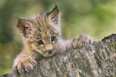 Canada Lynx kitten peering out from behind a log - by Paul Burwell Photography Lynx Kitten, Kitten Love, Cat Love, Arctic Animals, Animals And Pets, Cute Animals, Wild Animals, Wildlife Photography, Animal Photography