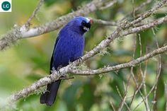 https://www.facebook.com/WonderBirdSpecies/ Diademed tanager (Stephanophorus diadematus); Brazil, Argentina, and Uruguay; IUCN Red List of Threatened Species 3.1 : Least Concern (LC)(Loài ít quan tâm) || Tanager lam mão đỏ; Brazil, Argentina và Uruguay.; HỌ TANAGER - THRAUPIDAE.