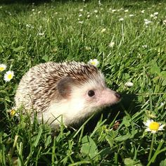 He also enjoys green grass… | The Fantastic Adventures Of Biddy The Hedgehog