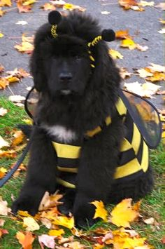 "Thurber, Newfoundland puppy, Halloween bee costume. I literally did a verbal ""AWWWWW"" when I saw this!"