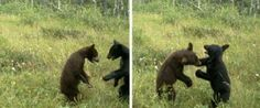 LOOK: Bear Cubs Wrestle For The Camera