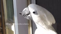 Harley The Talented Cockatoo Spins A Spoon