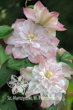 Early Large-flowered Group Clematis 'Innocent Blush' PBR